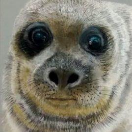 Sea Lion Artists Reference pics