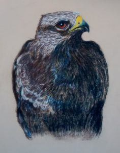 Buzzard drawing painting