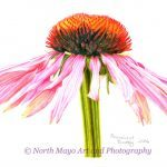 Conscious Crafties Limited Edition Print of original coloured pencil drawing 'Pink Daisy'