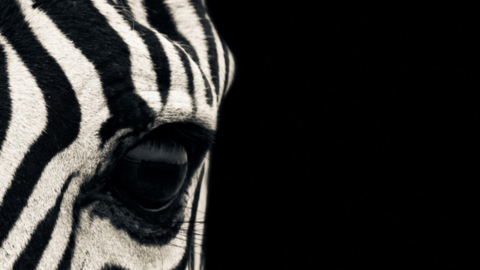 Why May is so important to Zebras